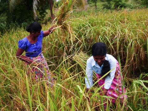 Sri Lankan women tending to a field